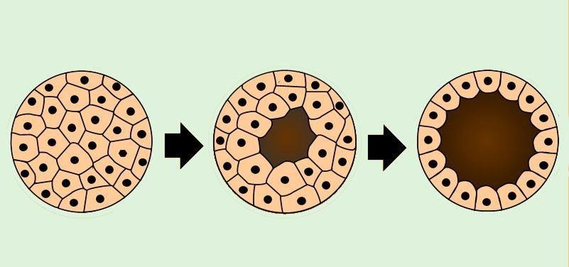 blastulação
