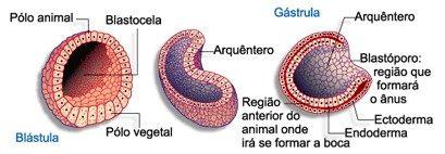 gastrulação e blastulação