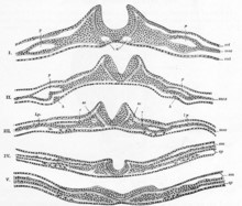 neurulação e nêurula