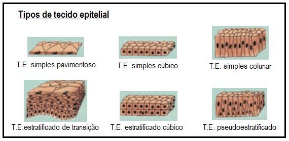 tipos de tecidos epiteliais