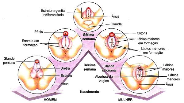 características sexuais humanas genitália humana