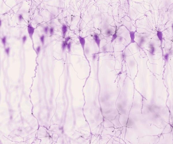 neurônios do tecido nervoso