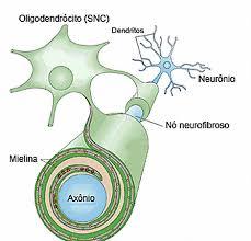 oligodentrócito envolvendo trechos do axônio do neurônio no tecido nervoso