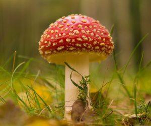 Cogumelo - Reino fungi
