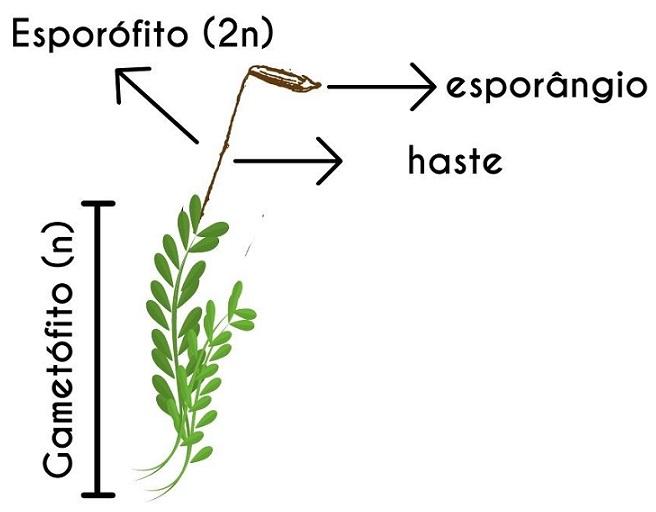 Esporófito - Briófitas