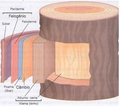 Estrutura de um caule - meristemas