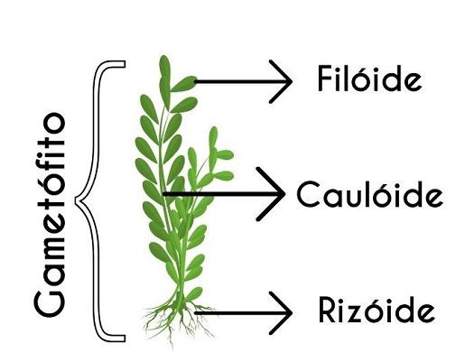 Gametófitos - Briófitas
