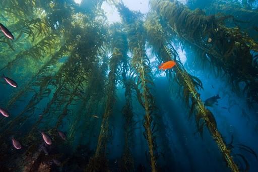 Kelps - Algas pluricelulares
