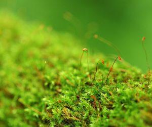 Musgos - Briófitas