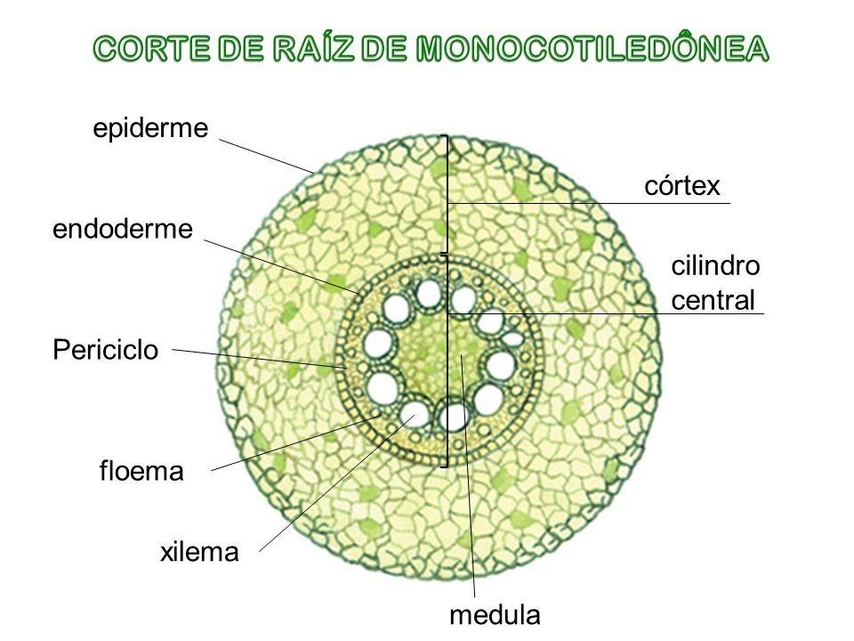 raíz de monocotiledôneas