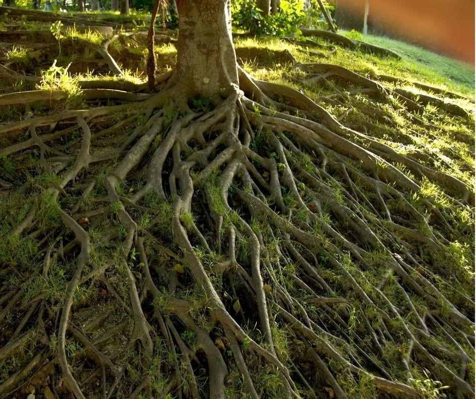 raízes de arvore