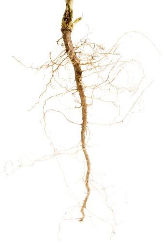 raízes pivotantes