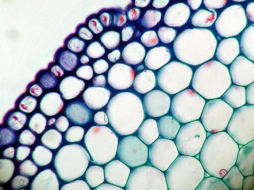 tecidos vegetais clorenquima