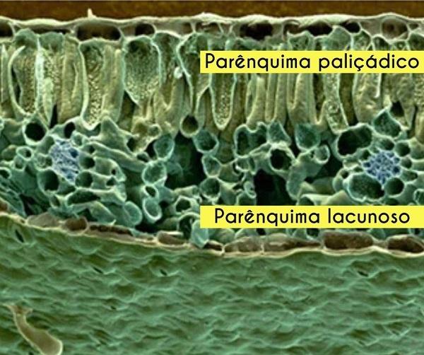 tecidos vegetais parenquimas diferentes