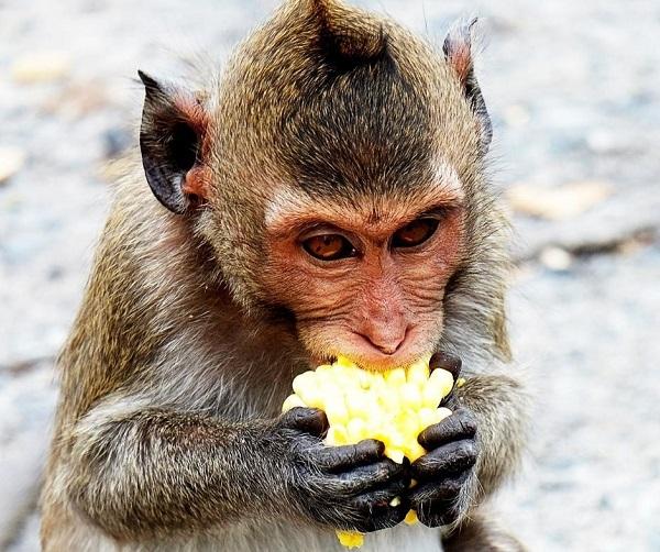 Macaco - Polinização