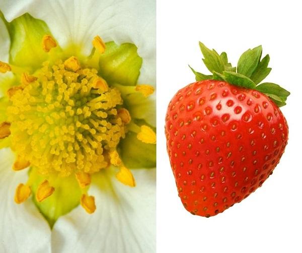 Flor e frutos do morango