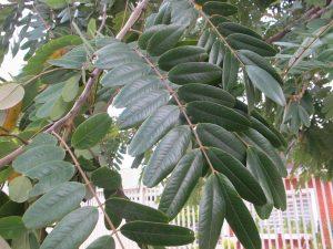 folha de cassia