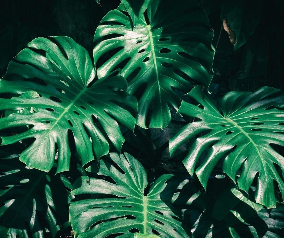 folhas costela de adao