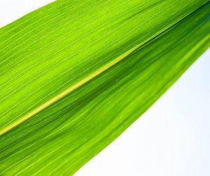 folhas de milho