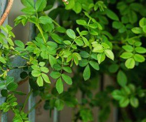 folhas de roseira