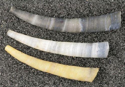 Conchas de escafópodes