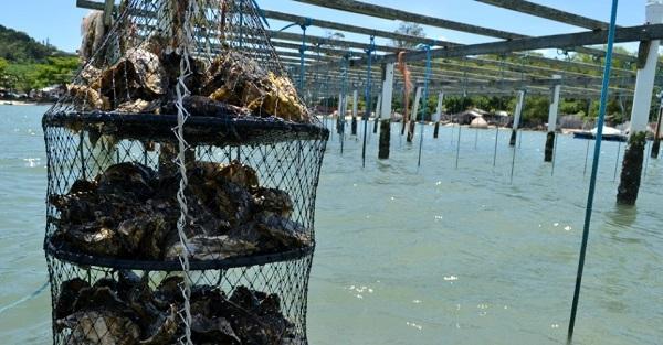 Fazenda de ostras - moluscos