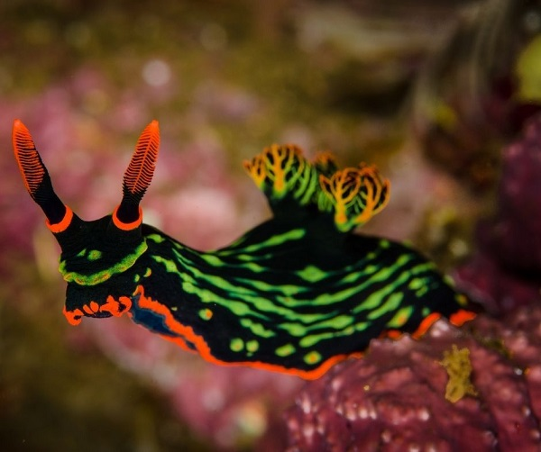 Nudibrânquio, lesma do mar