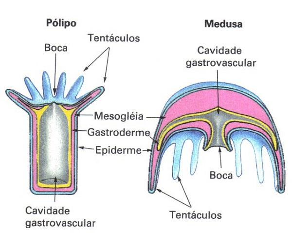Pólipo e medusa - cnidários
