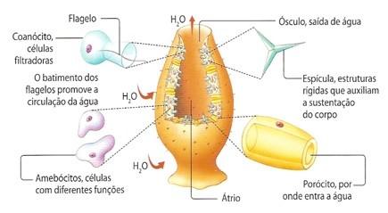 estrutura das esponjas
