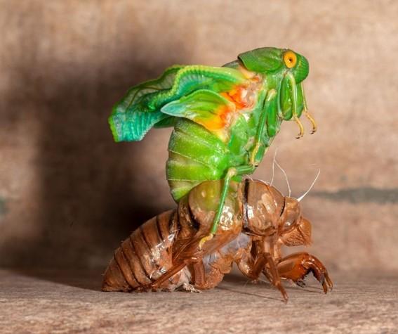 Cigarra realizando uma ecdise - insetos