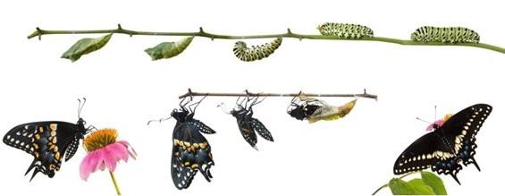 Esquema demonstrando a metamorfose de uma borboleta