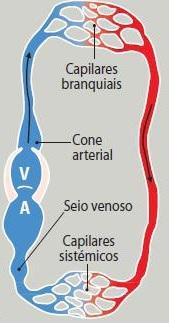 Desenho esquemático do sistema circulatório dos peixes. A letra A representa o átrio e a letra V representa o ventrículo, ambos são cavidades do coração. Em vermelho tempos a representação do sangue arterial (rico em gás oxigênio) e em azul temos o sangue venoso (rico em gás carbônico).
