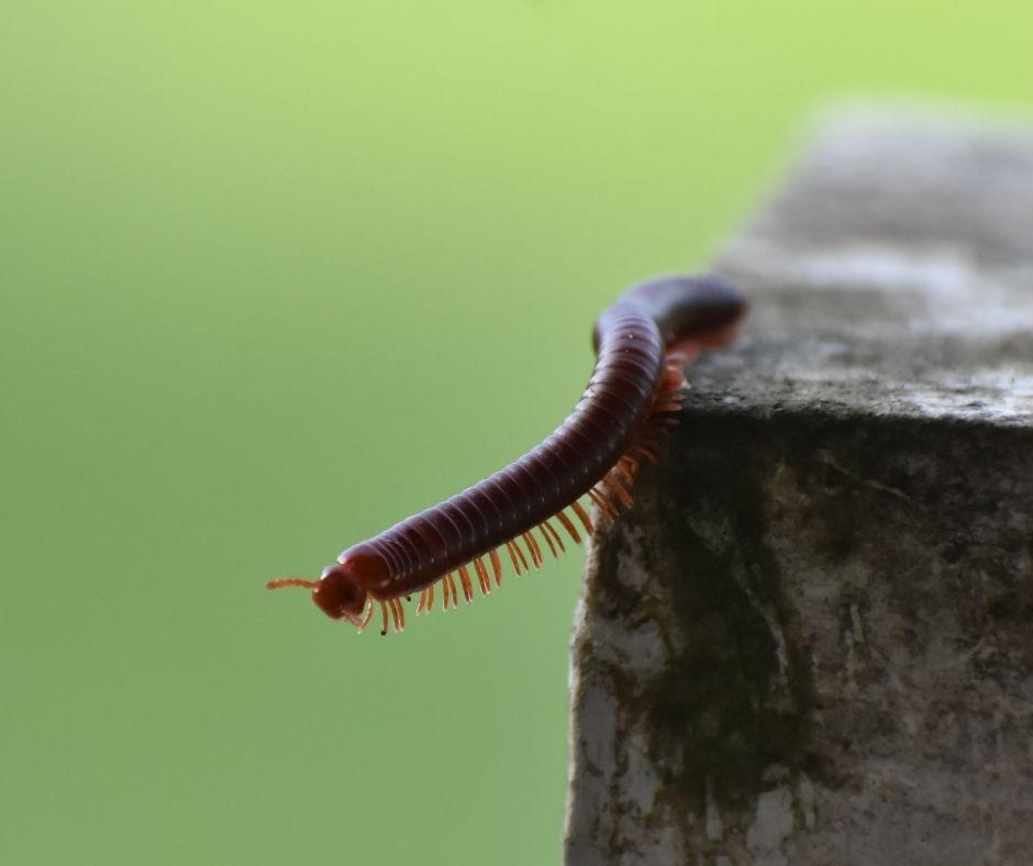 O piolho-de-cobra ou embuá também faz parte do filo dos artrópodes como quilópode