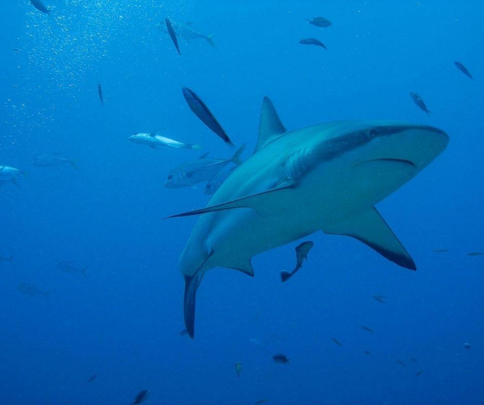Fotografia de um tubarão branco. Observe que a boca do animal está posicionada na parte ventral do animal, o que é característico dos peixes osteíctes. Fonte da imagem: Getty Images.