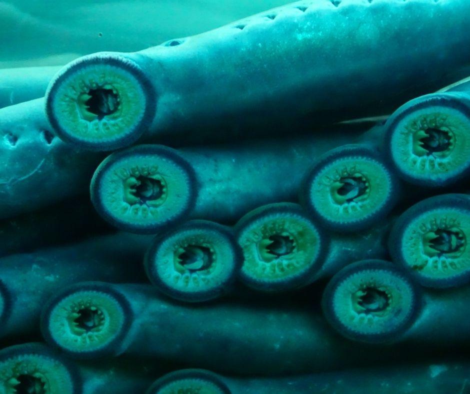 Fotografia que mostra com detalhes a boca de várias lampreias. As lampreias são peixes sem mandíbula, por isso a boca desses animais tem esse formato arredondado. Fonte da imagem: Cascoly