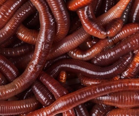 Minhocas - anelídeos