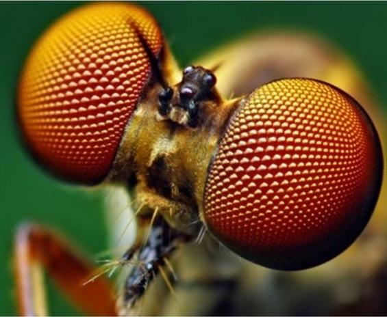 Olhos de um inseto