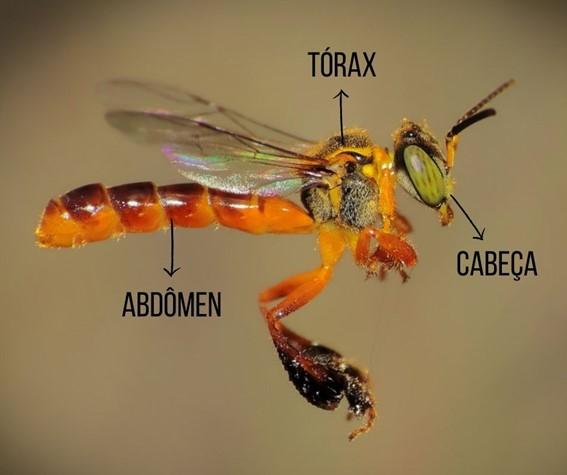 Partes do corpo dos insetos