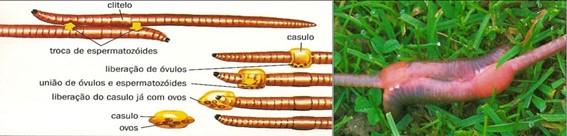 Reprodução das minhocas- anelídeos