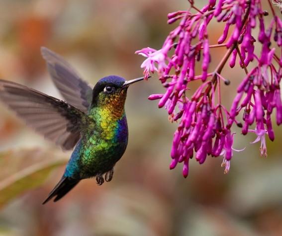 Beija-flor - aves