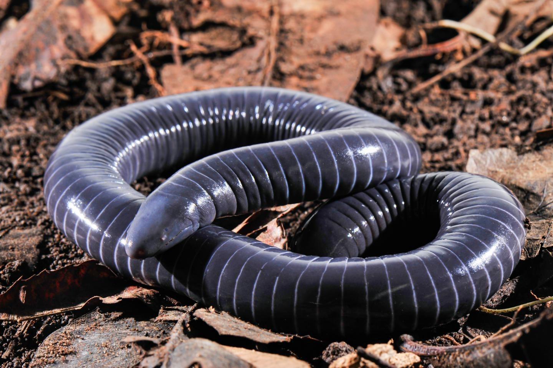 Fotografia de uma cecília. As cecílias são anfíbios da ordem dos ápodes e vivem enterrados em solo úmido. Fonte: Revista Galileu