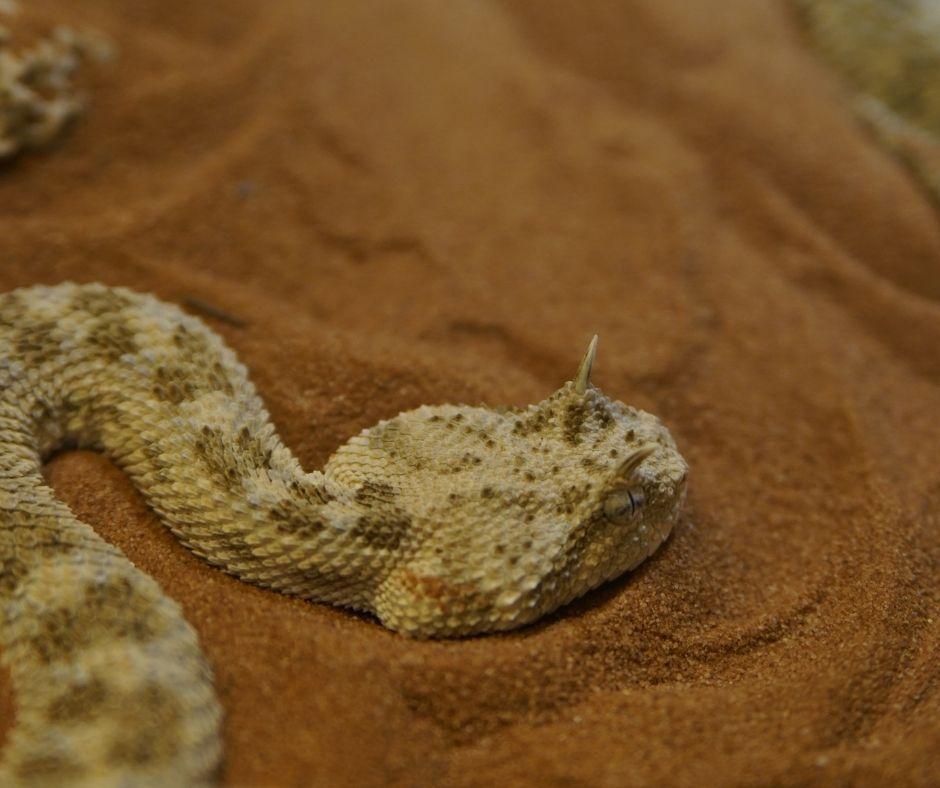 Fotografia de uma víbora chifruda, serpente comum nos desertos africanos. Os répteis possuem uma série de adaptações ao ambiente terrestre, fazendo com que algumas espécies consigam habitar até mesmo ambientes inóspitos como os desertos.