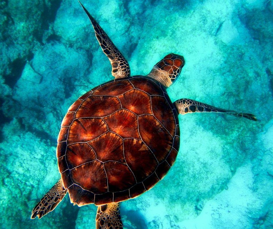Fotografia de uma tartaruga marinha. Observe que os membros desses animais possuem formatos de remos o que facilita o seu deslocamento na água. Fonte da imagem: Getty Images.