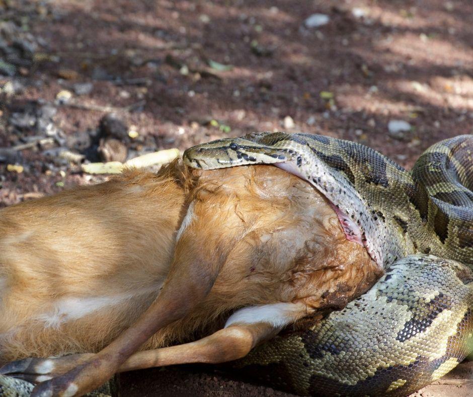 Fotografia de uma cobra do gênero Python comendo um cervo. Observe o deslocamento da mandíbula para que a boca do animal tenha uma grande abertura. Fonte da imagem: Getty Images.