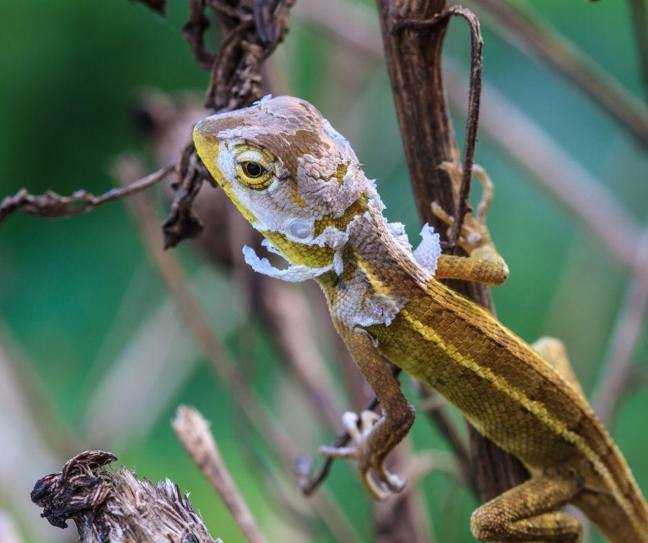 Fotografia de um lagarto trocando a pele. Fonte da imagem: Getty Images.
