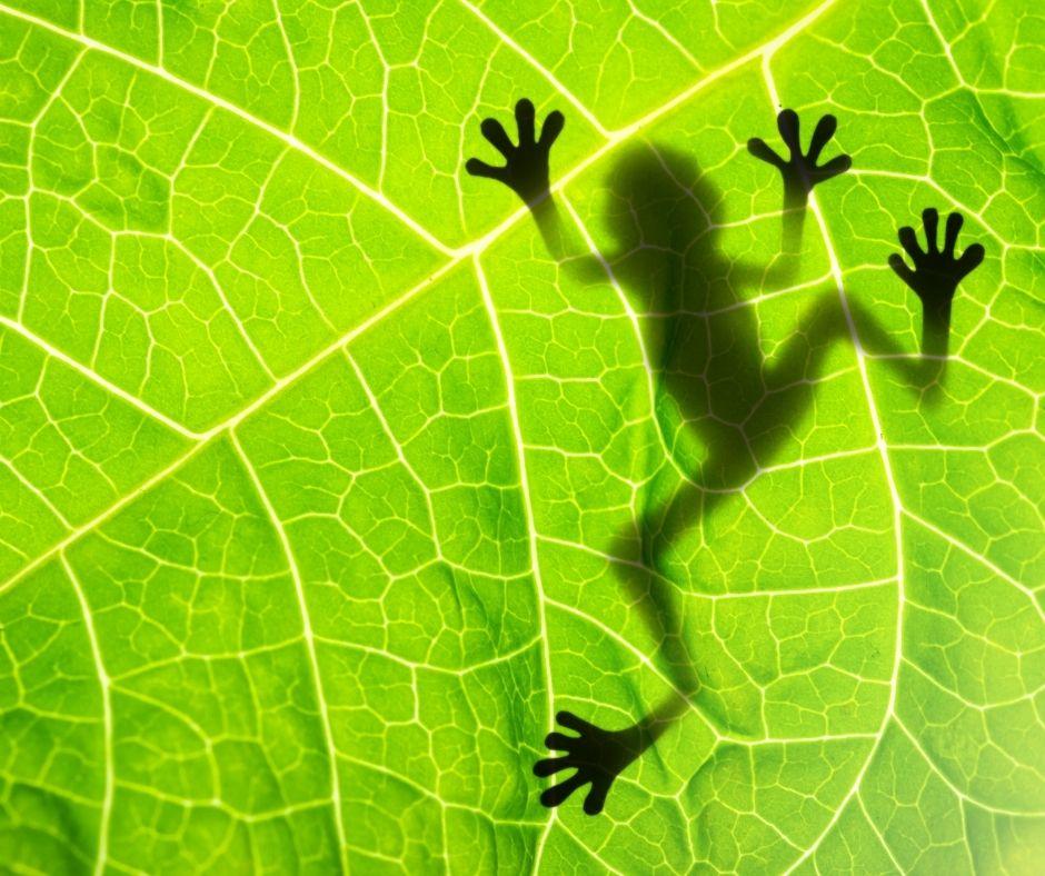 Fotografia da parte de baixo de uma fina folha, onde vemos a sombra de uma perereca. Fonte da imagem: Getty Images.