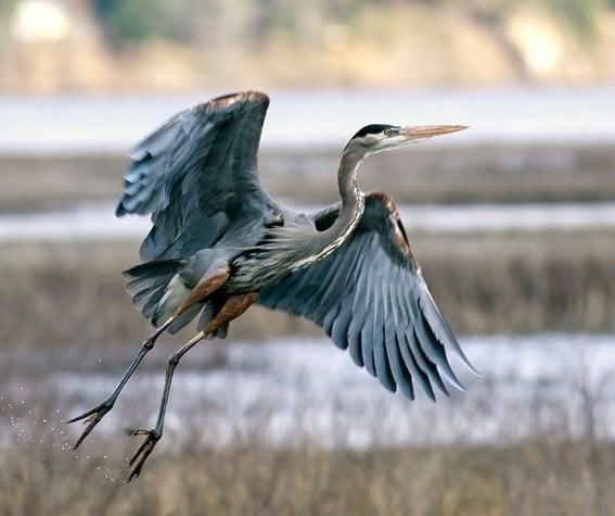 Garça azul - aves