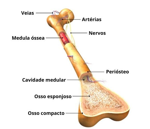 anatomia do osso