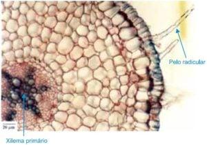 corte de uma raiz - exercício sobre transporte de seiva