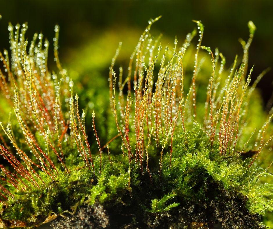 plantas avasculares